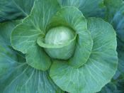 cabbage for Ripley Farm's organic CSA in dover foxcroft Maine