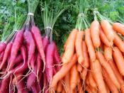 Orange and Red Carrots for Ripley Farm's organic CSA in Dover-Foxcroft maine