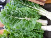 Swiss Chard organic for Ripley Farm's CSA dover-foxcroft Maine