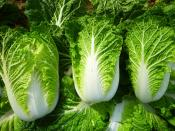 Chinese cabbage aka Napa cabbage for Ripley Farm's organic CSA in Dover-Foxcroft Maine