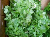organic cilantro for Ripley Farm's CSA in dover-foxcroft Maine