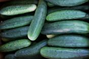 Cucumbers organic for Ripley Farm's CSA in Dover Foxcroft Maine