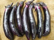 organic eggplant for ripley farm's csa in dover foxcroft maine