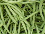 organic green beans for ripley farm's CSA in dover foxcroft maine