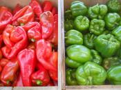 green and red sweet peppers for ripley farm's organic CSA in dover-foxcroft Maine