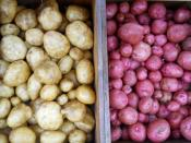 Yukon Gold and Red Pontiac Potatoes in Boxes for market Ripley Farm Maine