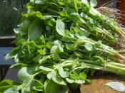 purslane for ripley farm's organic CSA in dover-foxcroft Maine