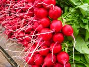 red radishes organic from ripley farm dover foxcroft maine