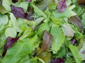 Our custom mixed mesclun aka baby salad greens