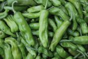 organic shishito peppers for ripley farm's CSA in dover foxcroft maine
