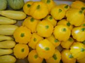 organic summer squash for Ripley Farm's CSA in Dover Foxcroft Maine