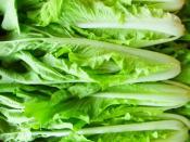 Chinese cabbage aka Tokyo Bekana for Ripley Farm's organic CSA in Dover-Foxcroft Maine